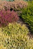 Härlig färgrik ljung som växer i trädgården royaltyfria foton