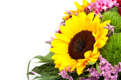 Härlig färgrik ny solros som isoleras på vit bakgrund Royaltyfri Fotografi