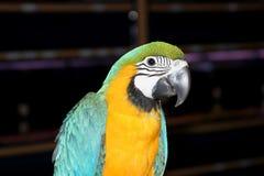 Härlig färgrik papegoja Fotografering för Bildbyråer