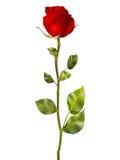 Härlig färgrik röd ros 10 eps Royaltyfri Fotografi