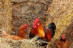Härlig färgrik rooster i en farmyard Royaltyfria Foton