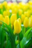Härlig färgrik tulpanblomma royaltyfri fotografi
