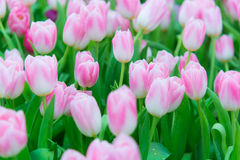 Härlig färgrik tulpanblomma arkivfoto