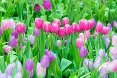 Härlig färgrik tulpanblomma royaltyfria foton