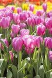 Härlig färgrik tulpanblommaträdgård Fotografering för Bildbyråer