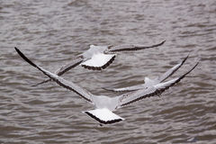 Härlig fågel, brun hövdad fiskmås, Seagull på flygprofil Bangpu Samuthprakharn, Thailand Royaltyfri Bild