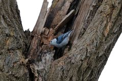 Härlig fågel för blå vit nuthatch i Michigan Royaltyfria Foton