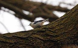 Härlig fågel för blå vit nuthatch i Michigan Arkivbilder
