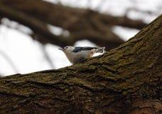 Härlig fågel för blå vit nuthatch i Michigan Royaltyfri Bild