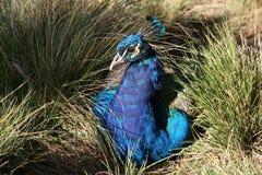 Härlig fågel för påfågel i naturen. Arkivfoto