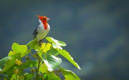 Härlig fågel i Hawaii Arkivfoton