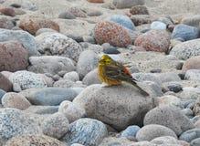 Härlig fågel på stenen, Litauen Arkivbilder