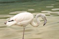 Härlig fågelflamingo i zoo Arkivbilder