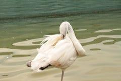 Härlig fågelflamingo i zoo Royaltyfri Bild