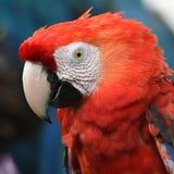 Härlig fågelscharlakansrött ara Royaltyfria Bilder