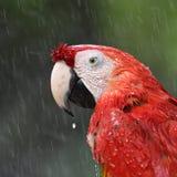 Härlig fågelscharlakansrött ara Arkivbild