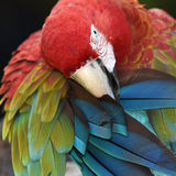 Härlig fågelscharlakansrött ara Royaltyfria Foton