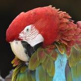 Härlig fågelscharlakansrött ara Arkivbilder