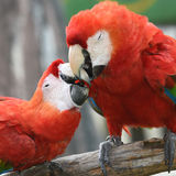 Härlig fågelscharlakansrött ara Arkivfoto