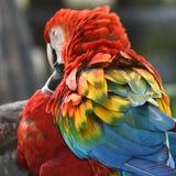 Härlig fågelscharlakansrött ara Fotografering för Bildbyråer