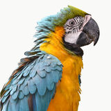 Härlig fågelscharlakansrött ara Royaltyfri Fotografi