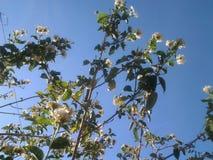 Härlig för blommaträd för blå himmel vår royaltyfri foto