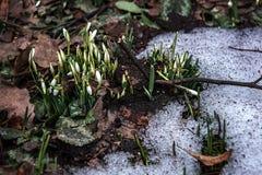 Härlig första snödroppecloseupsikt skyen för showen för växter för rörelse för den förfallna för fältet för blueoklarhetsdagen li royaltyfri fotografi