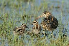 Härlig familj i den Wilpttu nationalparken Målad större - beckasin arkivfoton