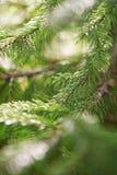 Härlig filial av firen-tree som abstrakt jul Arkivbild