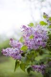 Härlig filial av lila blommor Fotografering för Bildbyråer