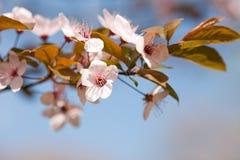 härlig fin tidig blommafjäder Royaltyfri Fotografi