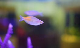Härlig fisk. Royaltyfria Foton