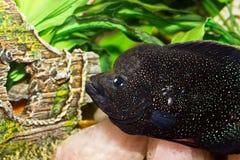 härlig fisk för akvarium Arkivbilder