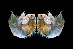 Härlig fisk för Halfmoonbetta Fånga det rörande ögonblicket som är härligt av siam bettafisk i Thailand på svart bakgrund royaltyfri bild