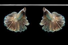 Härlig fisk för Halfmoonbetta Fånga det rörande ögonblicket som är härligt av siam bettafisk i Thailand på svart bakgrund arkivfoton