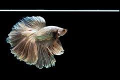 Härlig fisk för Halfmoonbetta Fånga det rörande ögonblicket som är härligt av siam bettafisk i Thailand på svart bakgrund fotografering för bildbyråer