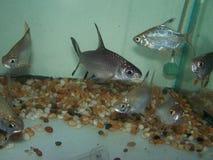 Härlig fisk i akvariet Arkivbilder