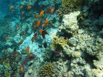 Härlig fisk i Röda havet, Egypten Arkivfoton