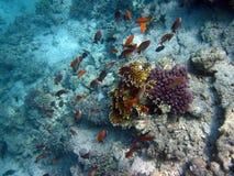 Härlig fisk i Röda havet, Egypten Royaltyfria Bilder