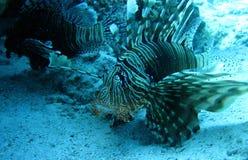 Härlig fisk i Röda havet, Egypten Arkivbild