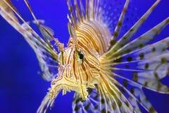 härlig fisklion Arkivfoto