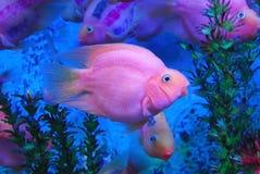 härlig fiskpurple royaltyfri fotografi