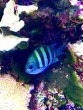 Härlig fisksimning i akvarium arkivfoton