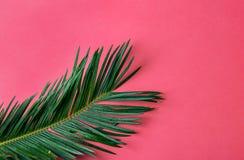 H?rlig fj?derlik gr?n palmblad p? rosa v?ggbakgrund f?r vibrerande fuchsia Tropiskt id?rikt begrepp f?r sommar stads- djungel royaltyfria foton