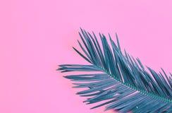 Härlig fjäderlik krickapalmblad på rosa bakgrund för vibrerande neon Tropiskt id?rikt begrepp f?r sommar Stads- djungelhouseplant arkivbilder