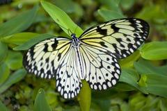 härlig fjäril Arkivfoto