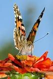 härlig fjäril Royaltyfria Bilder