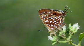 Härlig fjäril, abnorm Silverline Cigaritis vixinga Royaltyfria Bilder