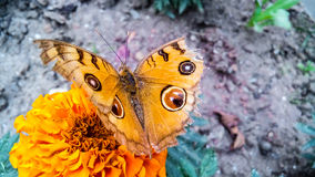 Härlig fjäril i blomma för ringblomma (sayapatri) arkivfoton