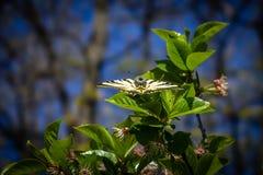Härlig fjäril med öppna vingar på ett grönt blad Royaltyfri Bild